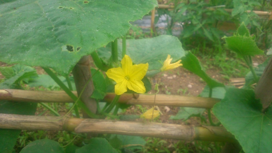 Zoom sobre flor de pepino