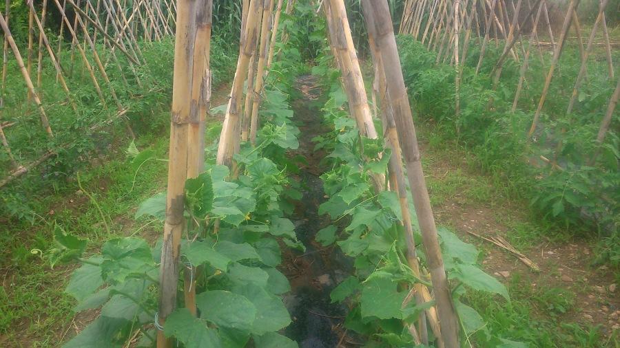 Ria de pepinos trepando por las cañas