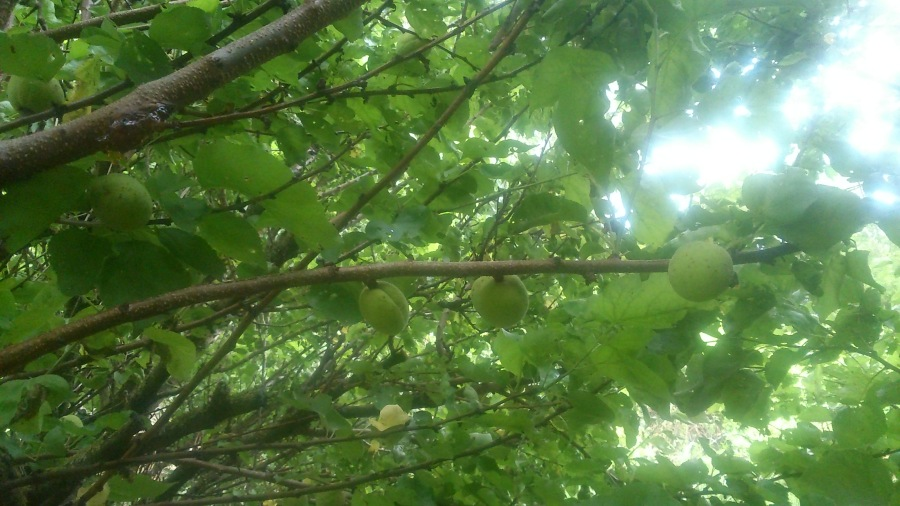 Frutales albaricoque