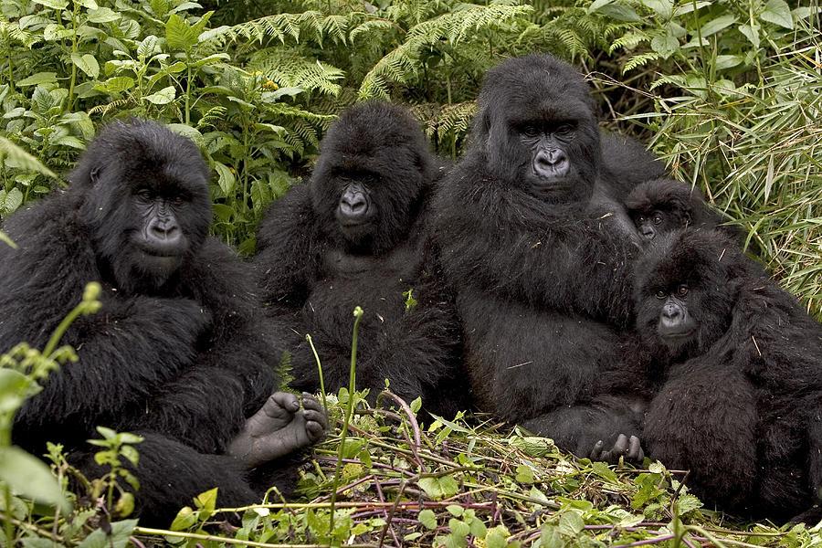 Familia de Gorilas en la naturaleza