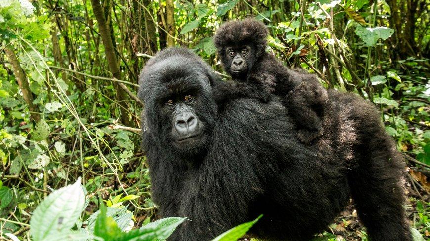 Una madre gorila con su bebe en plena naturaleza.